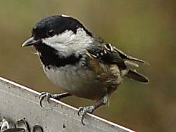 coal tit Rostherne. J. Somerville