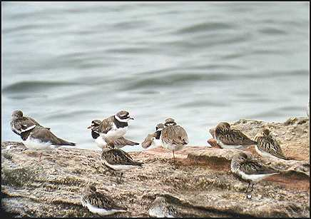 dunlin and ringed plovers
