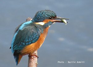 Barrie's Kingfisher